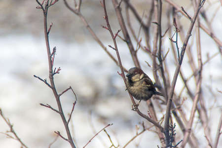 sparrow jumping on a branch, winter, birds are starving, birds to people