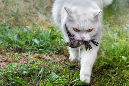 White cat caught a bird, hunter with prey Stock fotó