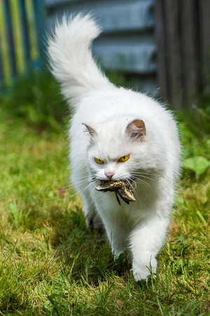 white cat caught birdie, in nature from hunger will not die Imagens