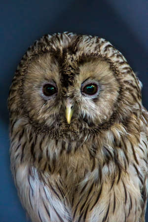 large tawny, Ural Owl - Strix uralensis, close-up