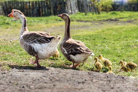 a pair of domestic geese with goslings for a walk Stock fotó