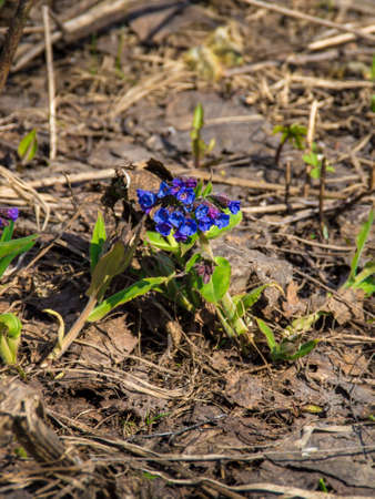 Pulmonaria blooms in spring blue and red