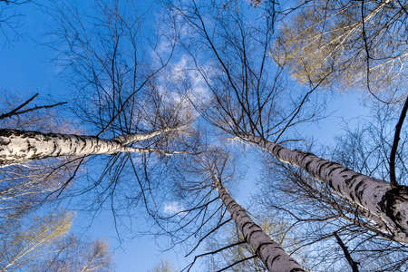 blue sky with clouds between birches without leaves Stock fotó