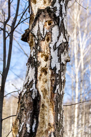 traces of woodpeckers activity on a tree trunk