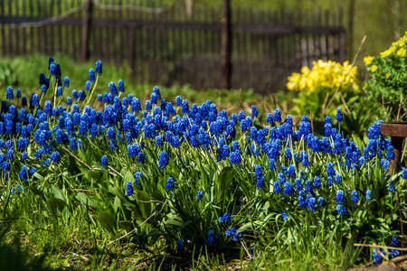 spring in the garden bloom blue flowers Muscari or mouse hyacinth Stock fotó