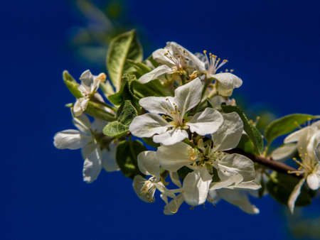 April, blossoms an apple tree on a blue background
