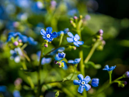Brunnera sibirica, blue flowers forget-me-not close up