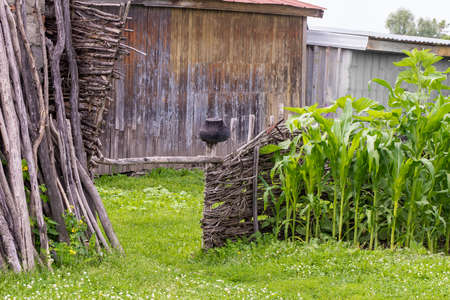 wicker hedge with cast-iron pot, corn grows