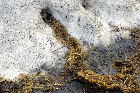 partially melted snowdrift, rodent burrows lined with old grass, housing insulation for the winter, selective focus