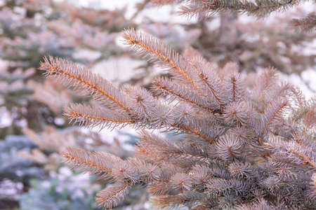 Branches of blue spruce reddened from adverse conditions, unsuccessful transplantation or illness, selective focus