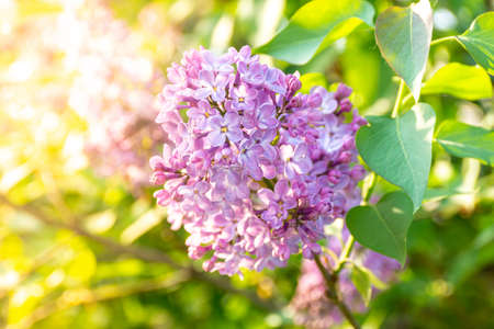 in spring, a lilac bush - syringa blooms, a symbol of love and sadness, bright backlight