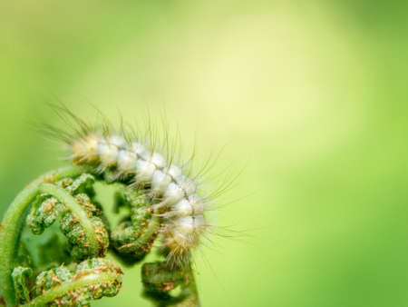 white hairy caterpillar on fern shoots, free space, selective focus
