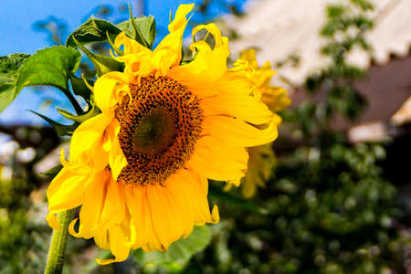 sunflower flower, an oil source of vegetable fats, as well as fragrant oilcake and halva, selective focus