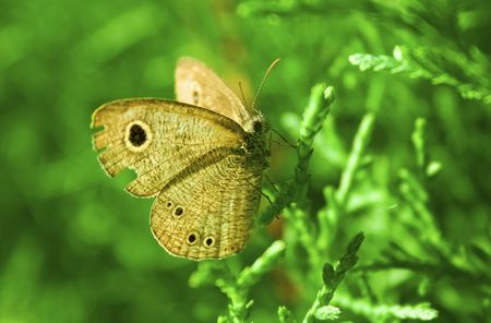 a faction: This is a close up picture of a brown butterfly that perch at a pine tree. The butterfly is not afraid at all when being photographed.