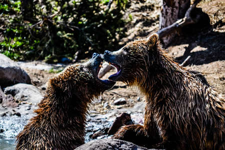 Two Grizzlies fighting each other  Reklamní fotografie