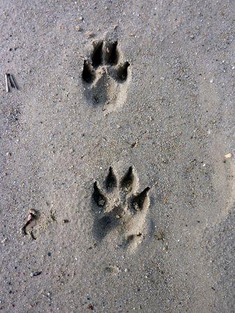 huellas de perro: Perro huellas sobre la arena mojada