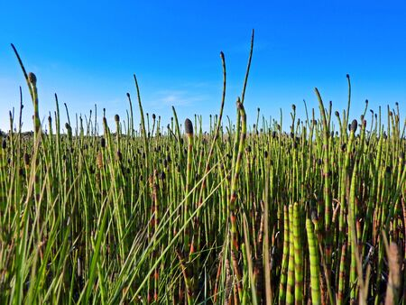 wetland with horsetail photo
