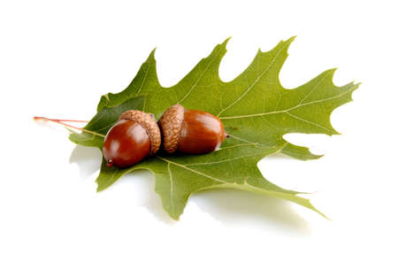 Couple of glands,acorns on leaf isolated on white background