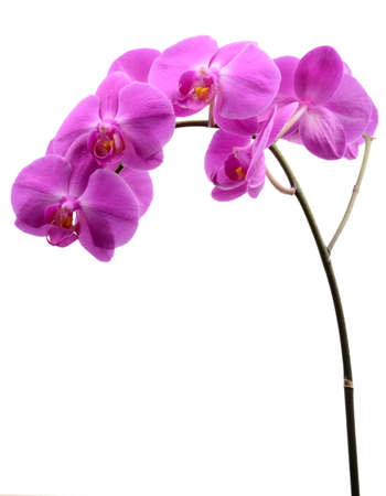 stalk: Pink orchid with long stalk isolated on white background