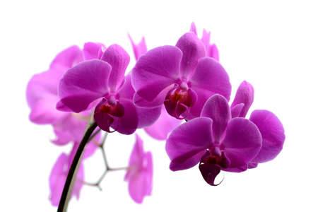 orchid: Macro shot branch of pink orchid on white background Stock Photo