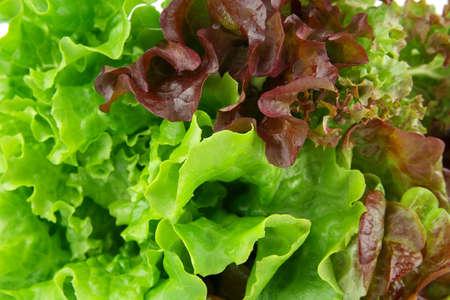 Oakleaf lettuce, corrugated lettuce on entire background