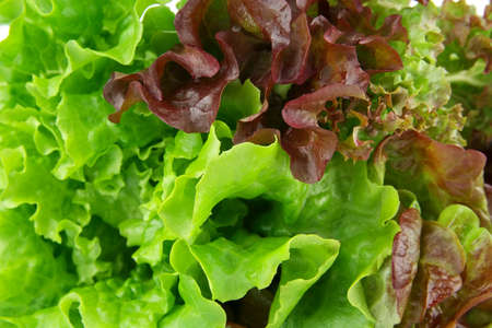 Oakleaf lettuce, corrugated lettuce on entire background