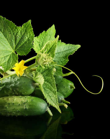 cropped shot: Cropped shot raw cucumbers with flower bud,leaves and tendrils isolated on black background Stock Photo