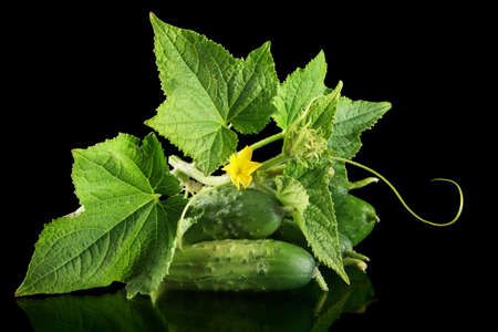 gherkins: Few fresh raw gherkins with flower bud,leaves and tendrils isolated on black background