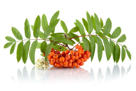 rowanberry: Orange rowanberry with blossom and green leaves isolated on white background