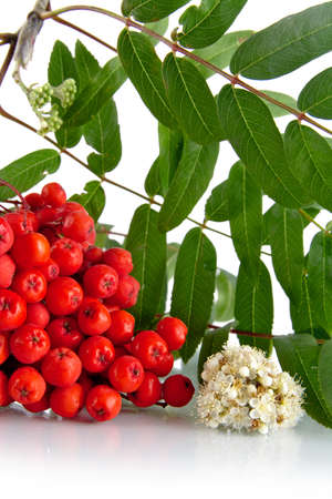 rowanberry: Studio shot of red mountain ash with blossom, green leaves of rowanberry on white background Stock Photo
