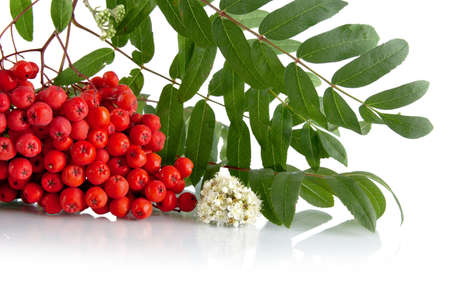 bunchy: Studio shot of red rowanberry with blossom, green leaves of rowanberry on white background