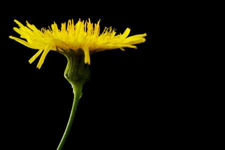 arvensis: Yellow poisonous wildflower on black background as sonchus arvensis