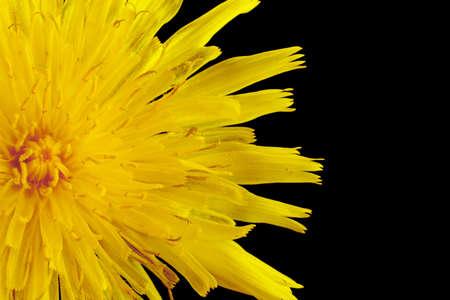arvensis: Yellow poisonous wildflower on black background as sonchus arvensis, closeup shot