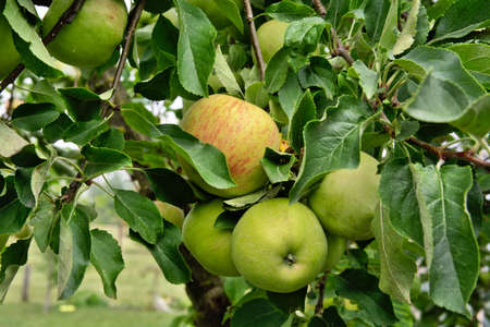 Outdoor shot of immature green apples on apple tree Stock Photo