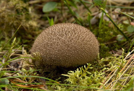 Puffball fungus in a forest. Latin name is lycoperdon umbrinum Reklamní fotografie