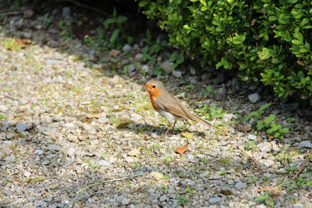 redbreast: Young Robin searching for food