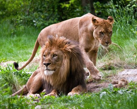 mated: Mated Lions