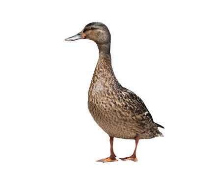 Female mallard duck isolated on a white background