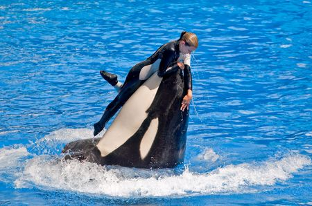 ORLANDO, FL - 19 de agosto: Trainer disfruta de un paseo a bordo de una orca peligrosa durante un espectáculo en el Sea World, Orlando, Florida, el 19 de agosto de 2009.