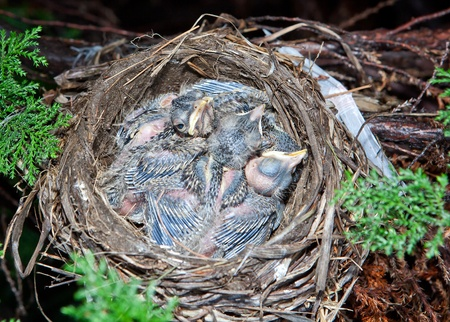 Very young baby robins