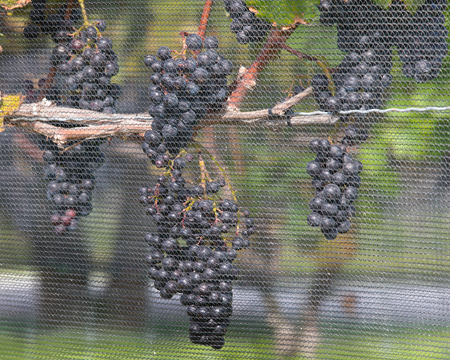 vine country: Wine grapes on the view
