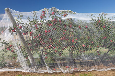 Apple vines with protective nets on them Banco de Imagens