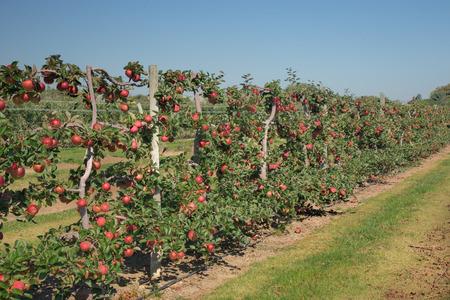 Ripe, red apples on the vine. Banco de Imagens