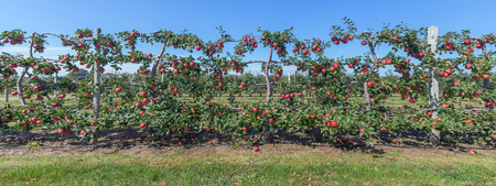 Panorama of apples on the vine, Long Iland, NY