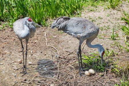 Maited pair of Sandhill cranes with eggs