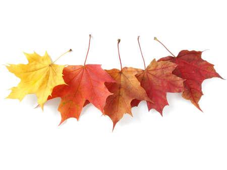 cinco brillantes hojas del otoño de arce en blanco Foto de archivo