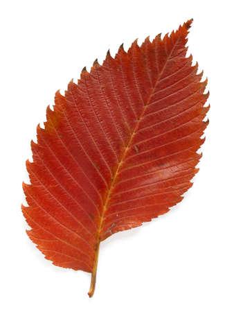 bright autumnal aspen leaf on white