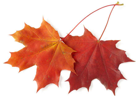 two bright autumnal maple leaves on white