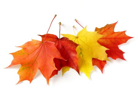some bright autumnal maple leaves on white
