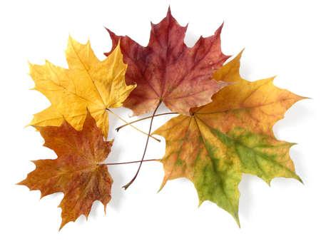 arce brillantes hojas otoñales en blanco